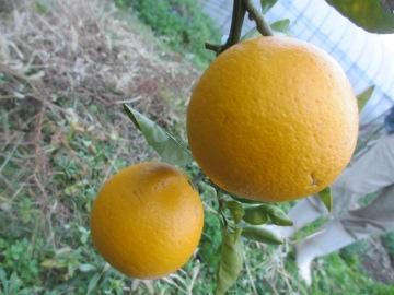 金柑子1個収穫2