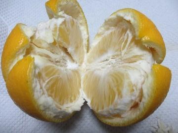 金柑子1個収穫3