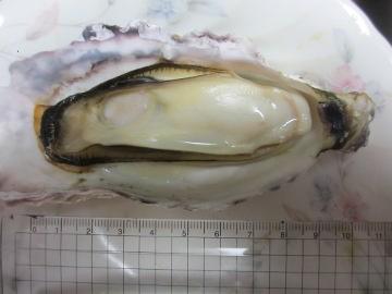巨大牡蠣2