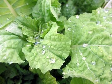 菜の花に雨