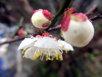 雨の中の梅の花