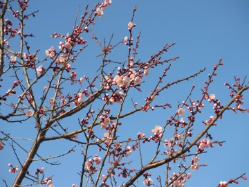 春らしく3