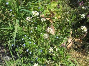 春の野の花5