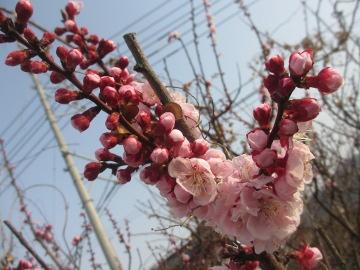 あんずの花いっぱい3