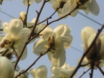 こぶしの花が