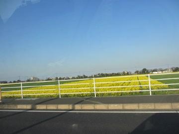 椎田の菜の花畑