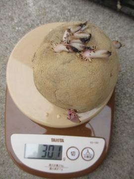 10円種芋2