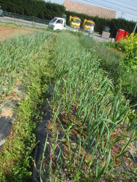 ニンニク畑の草取り4