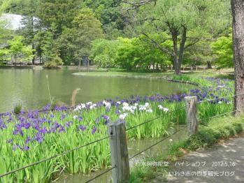 20120516阿弥陀堂花菖蒲