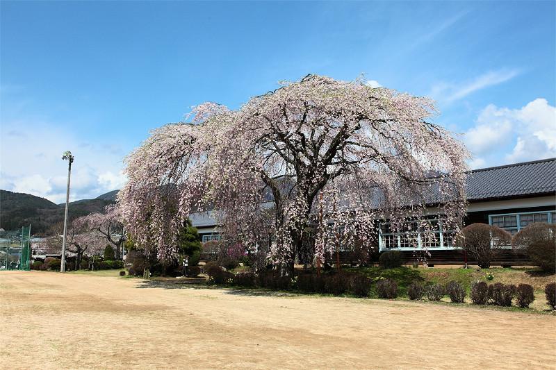 昨年2011年の満開の桜
