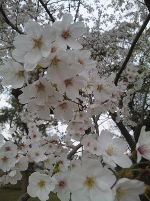 1204桜