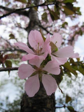 ピンク濃いめの桜