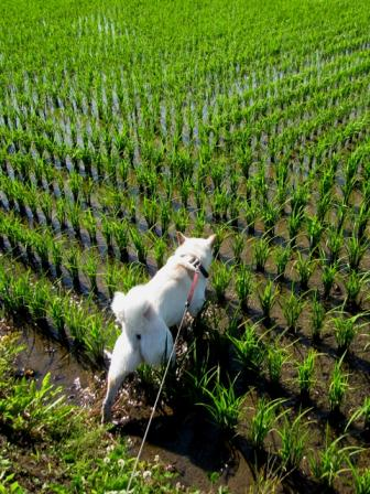 稲はまたぎます