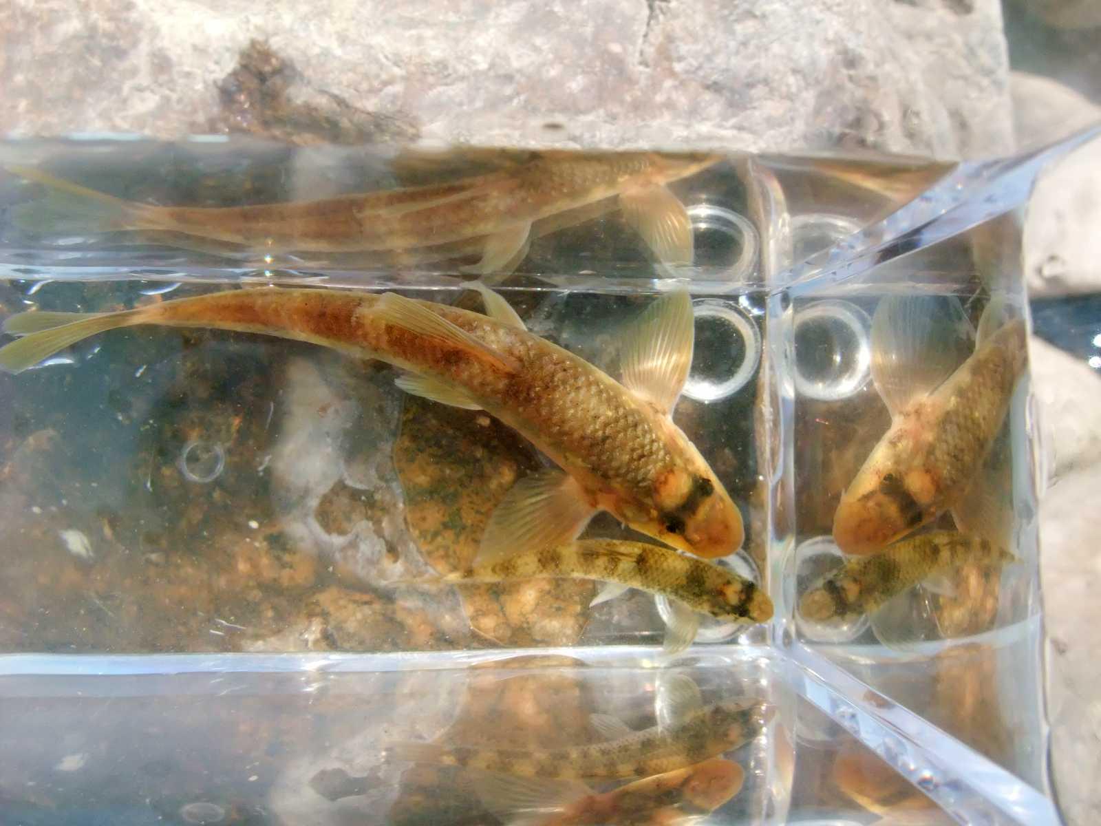 돌상어(トルサンオ 돌(石)沙魚 和名サメガシラ 鮫頭 Gobiobotia brevibarba)