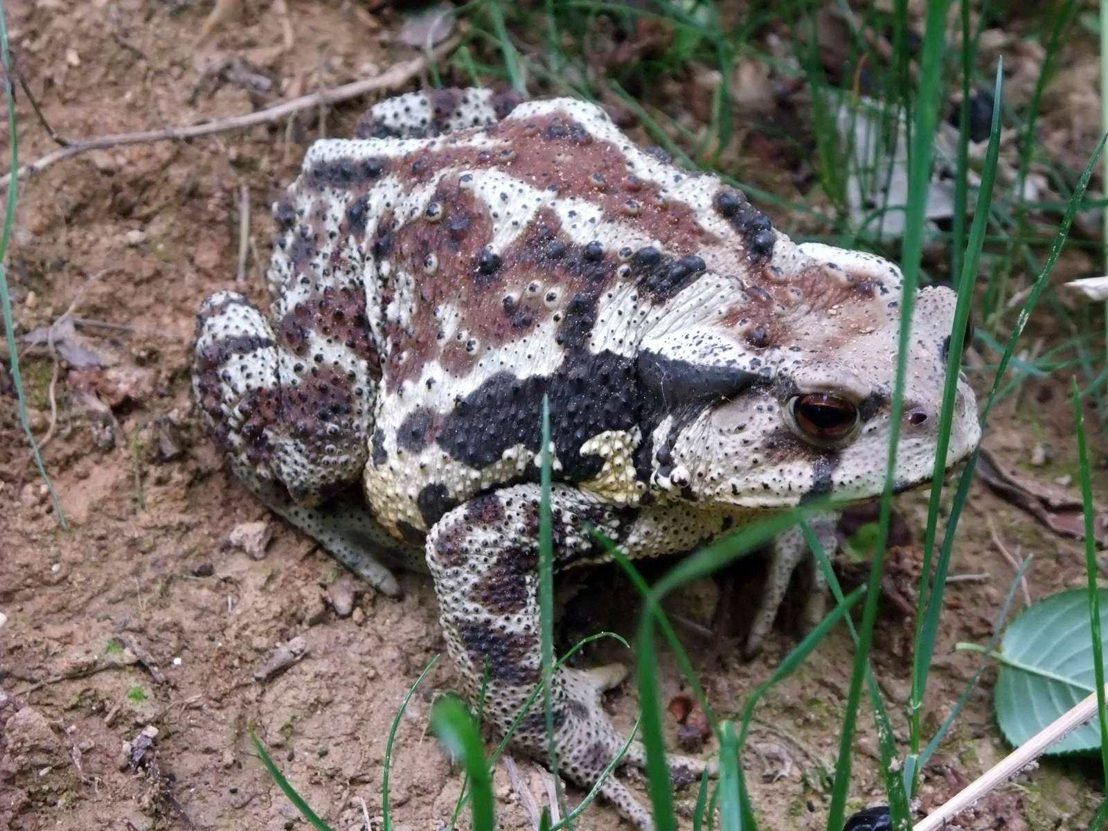 두꺼비(ドゥッコビ 和名アジアヒキガエル Bufo gargarizans)
