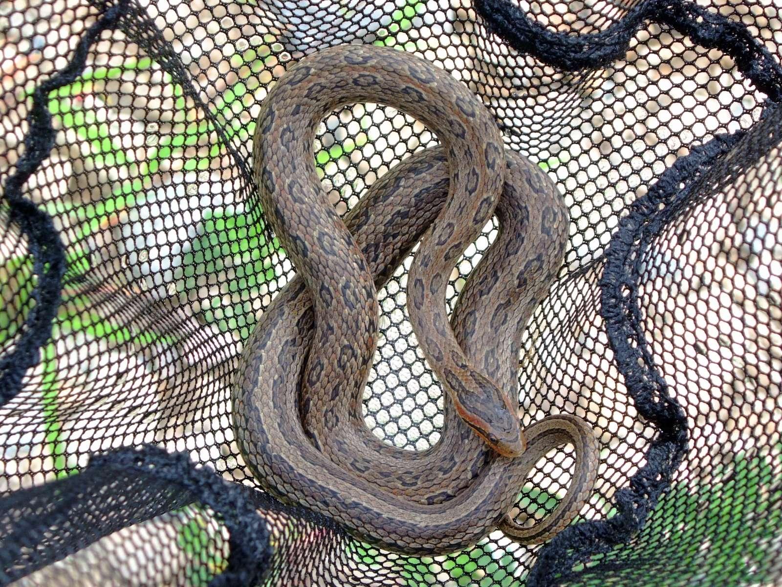무자치(ムジャチ 和名ミズナメラ Elaphe rufodorsata)