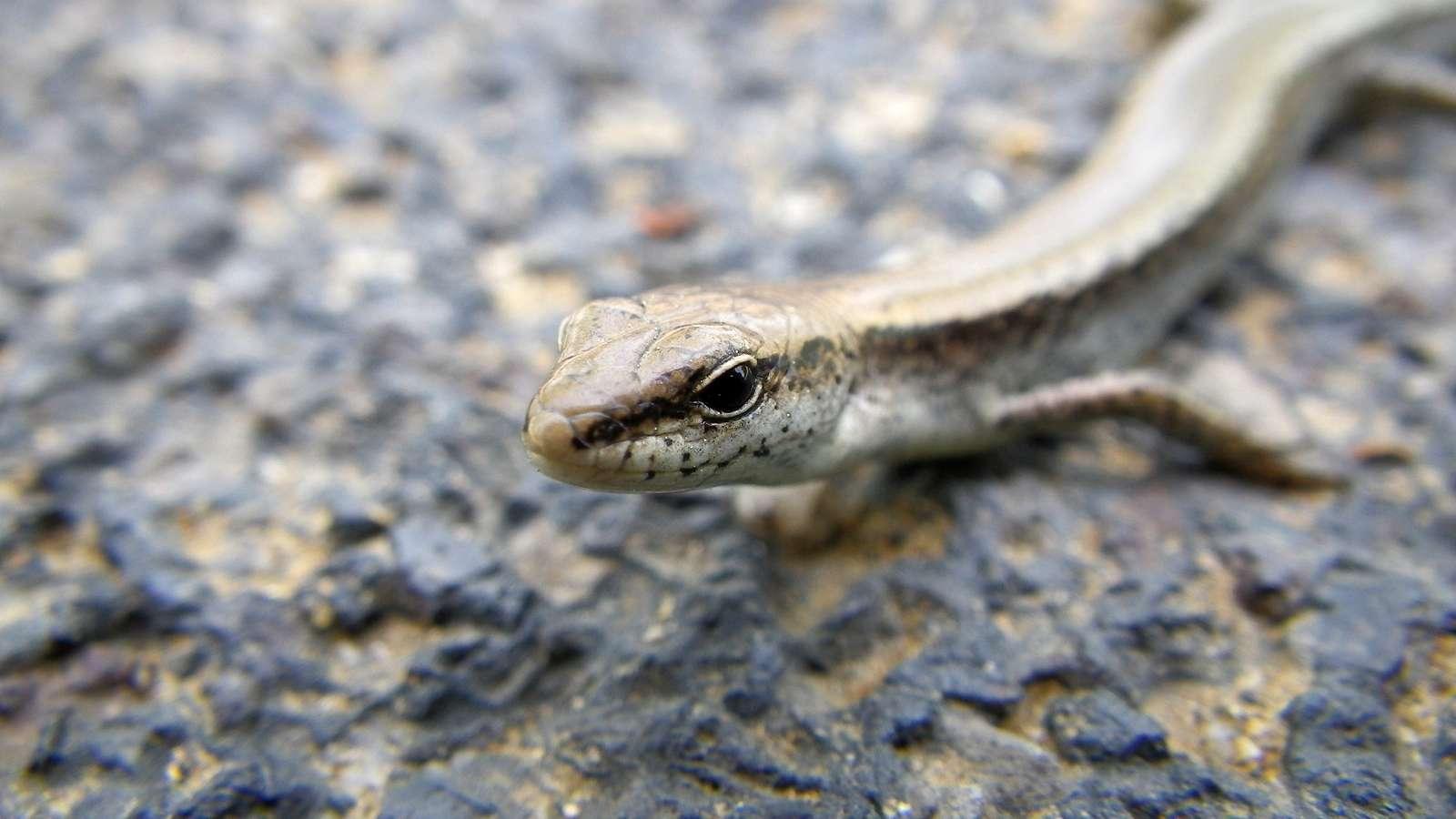 도마뱀(ドマベム 和名ツシマスベトカゲ Scincella vandenburghi)