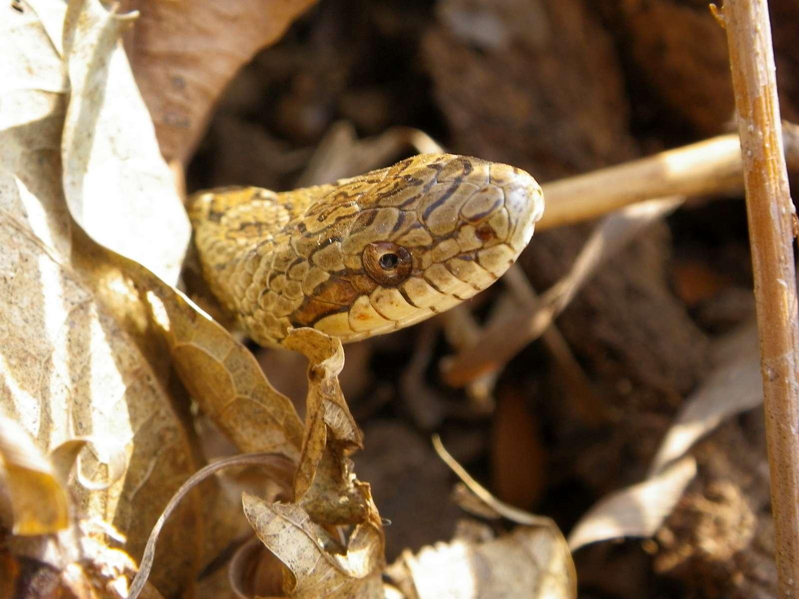 누룩뱀(ヌルクベム 和名サラサナメラ Elaphe dione)