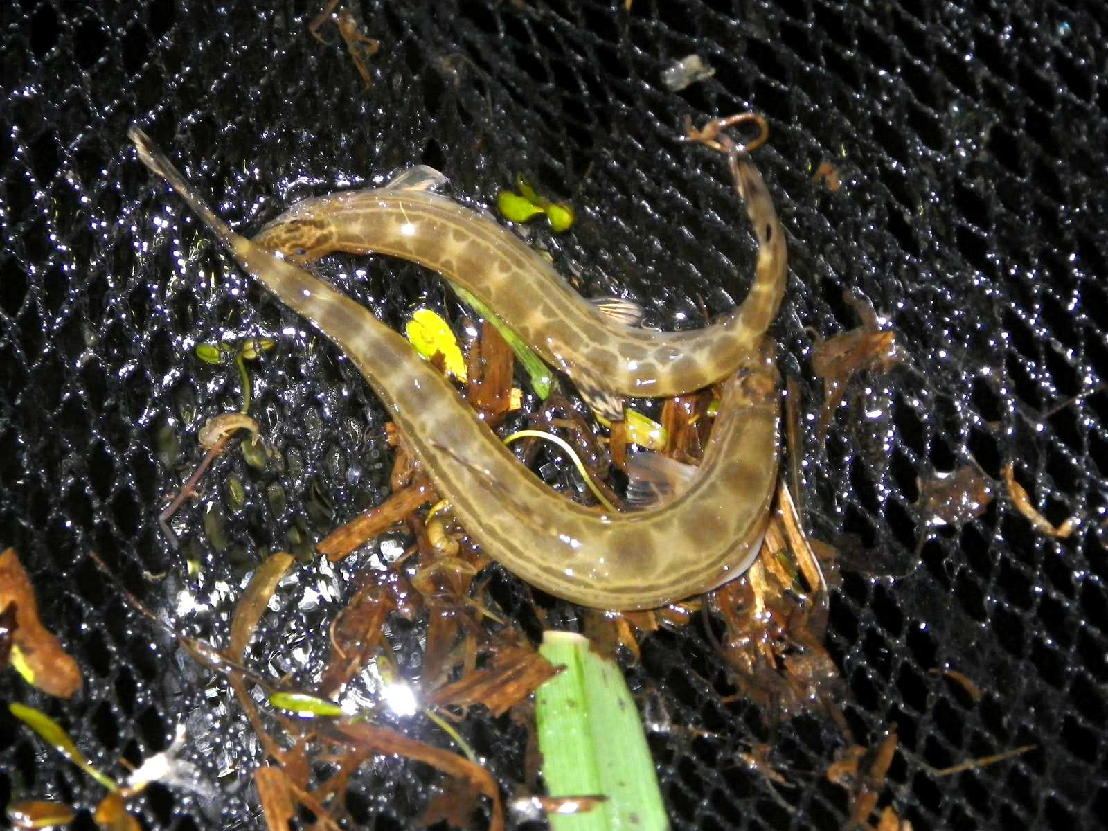기름종개(キルムジョンゲェ 和名正式名称なし Nakdong spine loach = ナクドンシマドジョウ? Cobitis hankugensis)