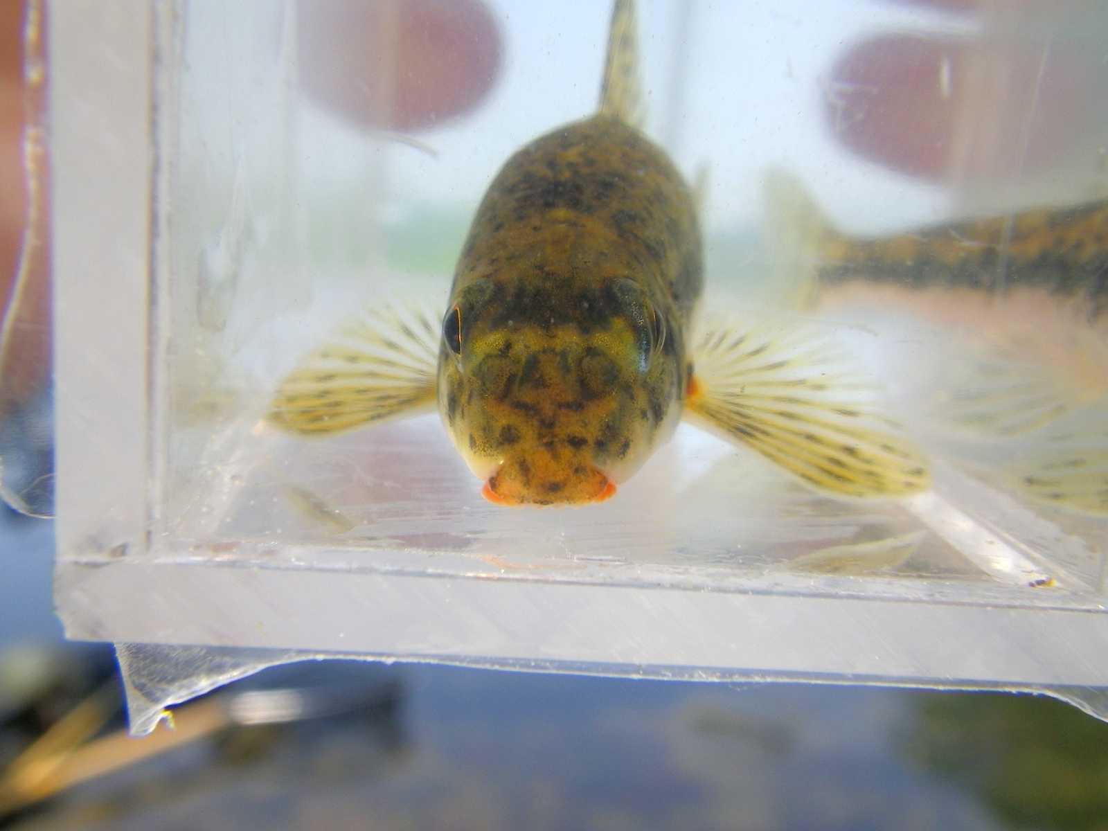 돌마자(トルマジャ 和名ムナイタカマツカ Microphysogobio yaluensis)