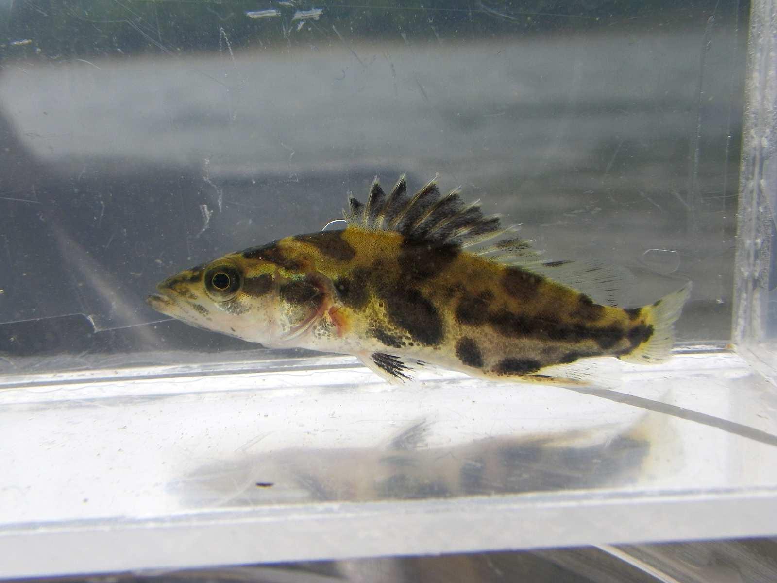 쏘가리(ッソガリ 和名コウライケツギョ 高麗桂魚 Siniperca scherzeri)