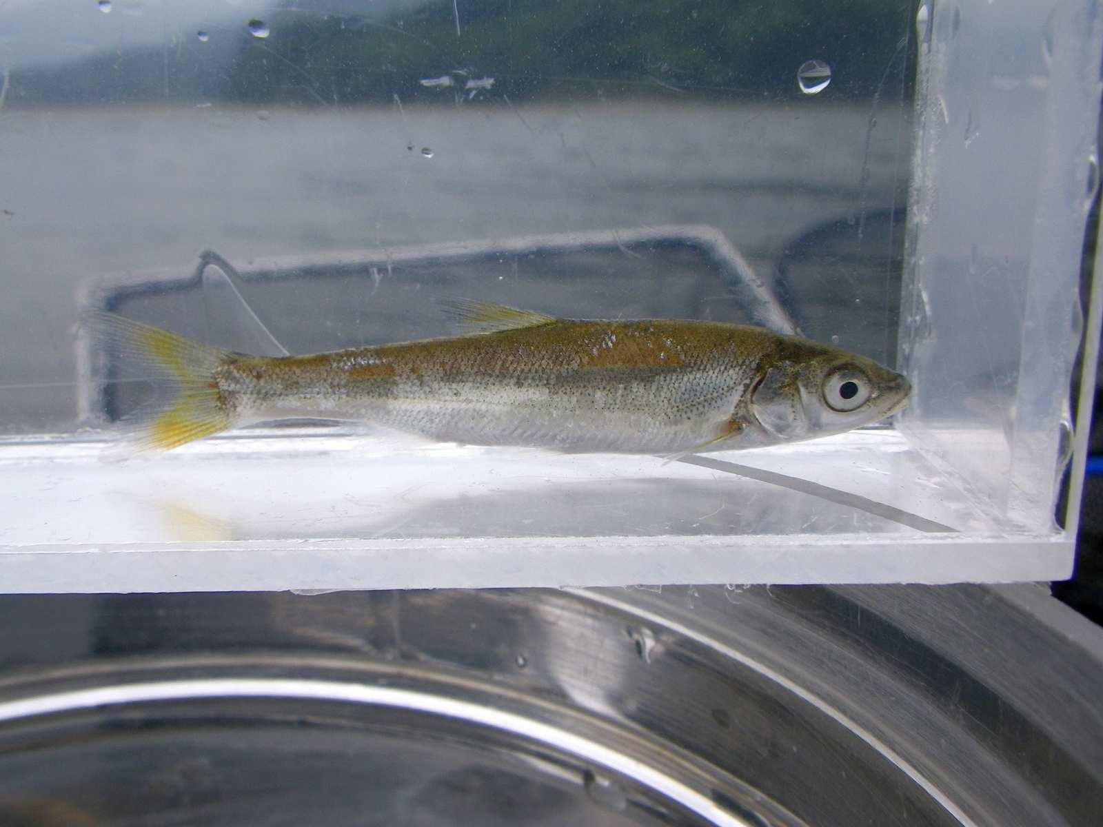 황어(ファンオ 黄魚 和名ウグイ Tribolodon hakonensis)
