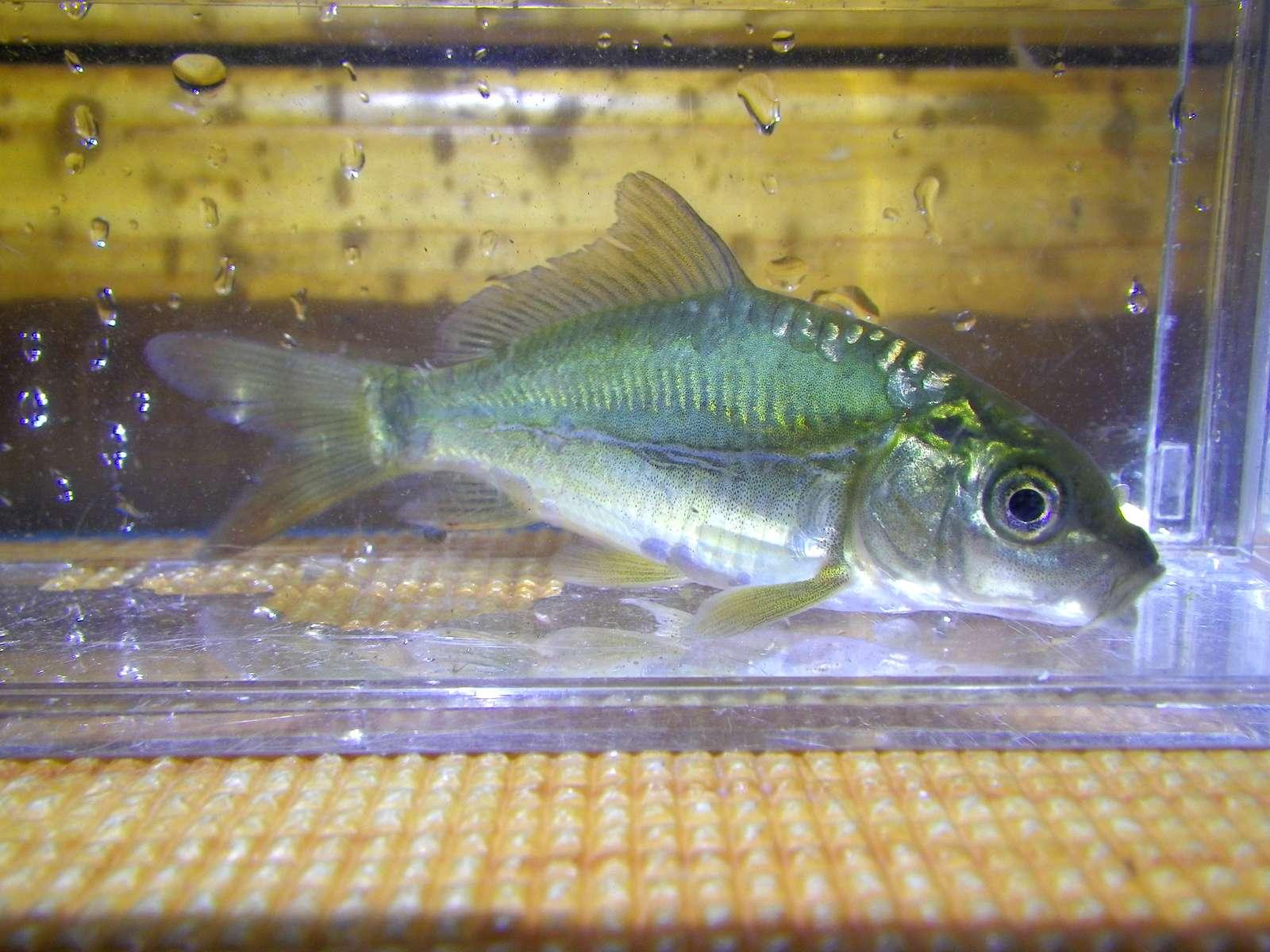 향어(ヒャンオ 香魚 和名ドイツゴイ? Cyprinus carpio nudus 이스라엘 잉어 イスラエル鯉)