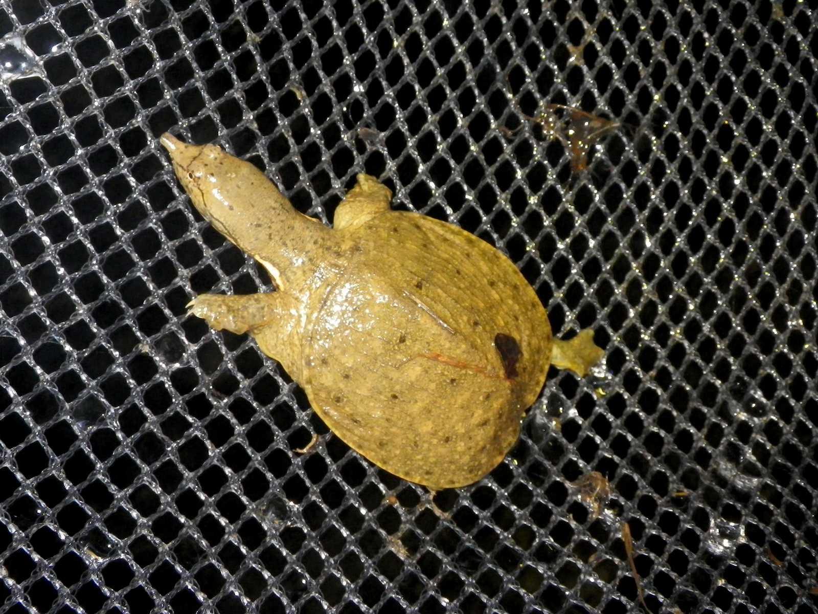 자라(ジャラ 和名ニホンスッポン Pelodiscus sinensis)