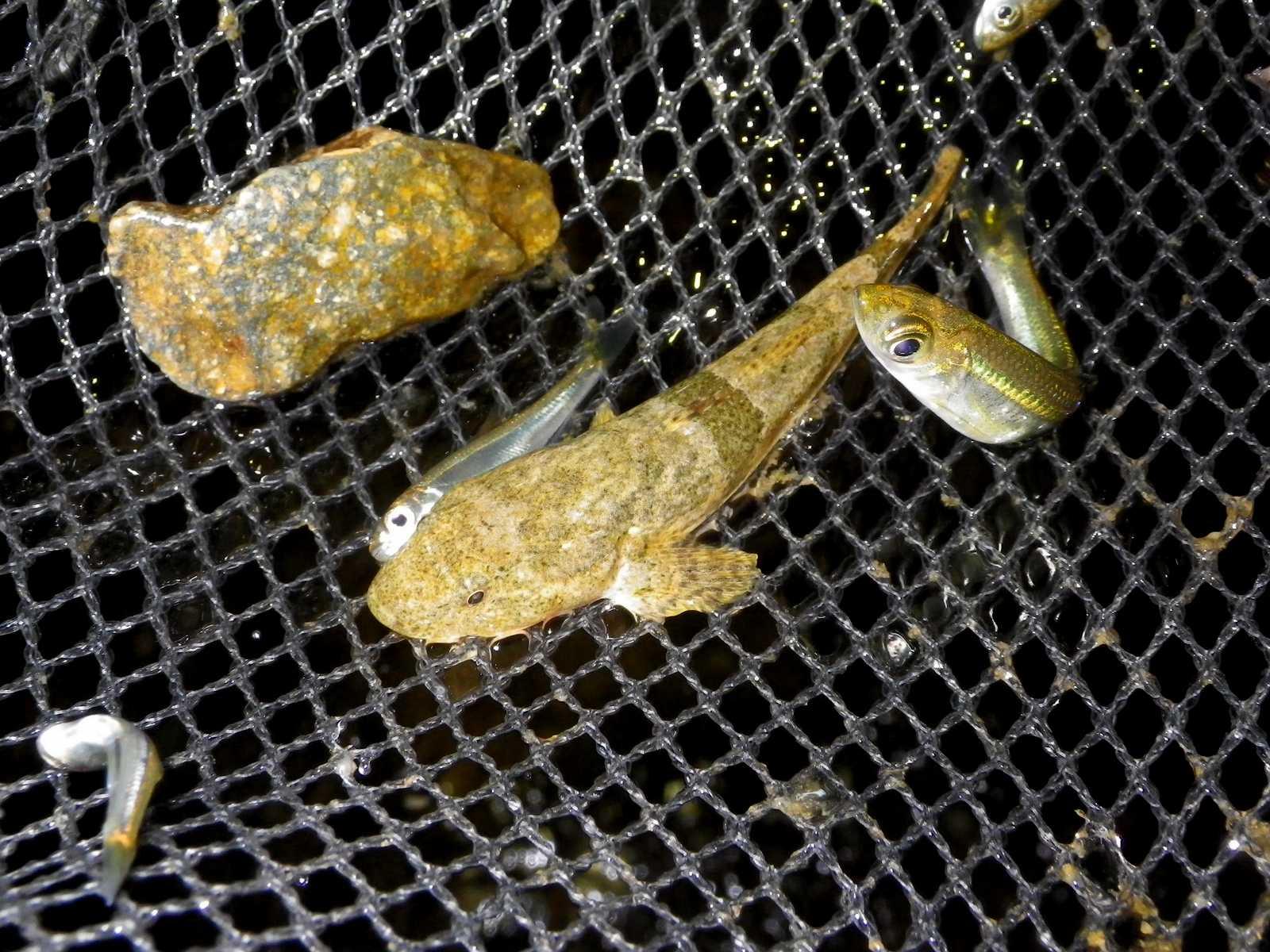 동사리(ドンサリ 和名コウライドンコ Odontobutis platycephala)