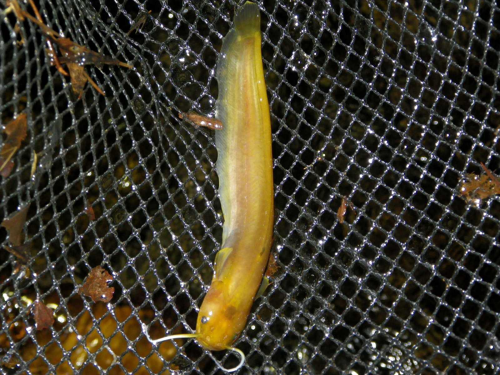 미유기(ミユギ 和名コウライヤナギナマズ Silurus microdorsalis)