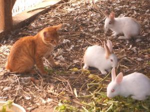 カラカラとウサギとウコッケー05