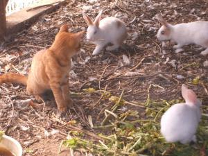 カラカラとウサギとウコッケー04
