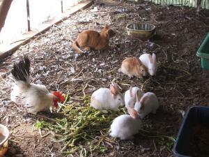 カラカラとウサギとウコッケー02
