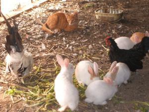 カラカラとウサギとウコッケー03