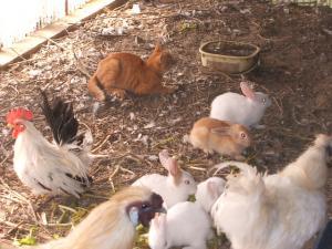 カラカラとウサギとウコッケー01