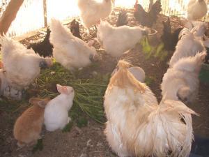 鶏20101905
