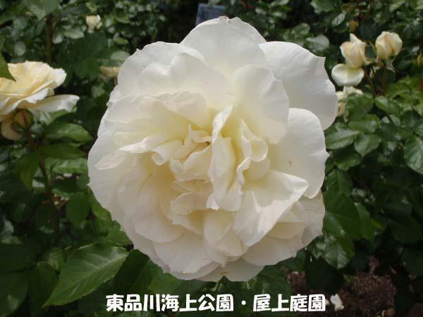 バラも見頃になりました。  №977