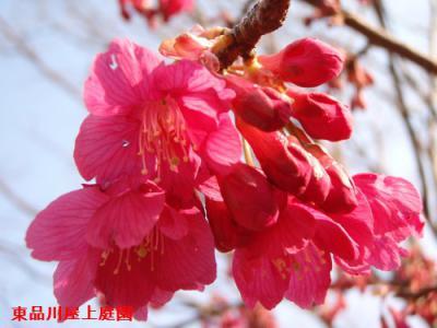 kainhizakura0308-1.jpg