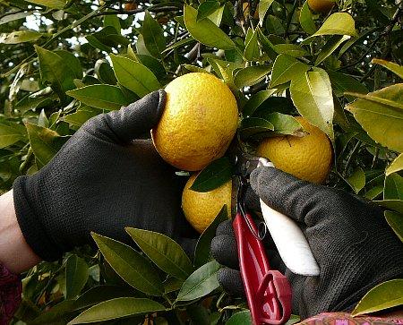 黄金柑収穫作業①