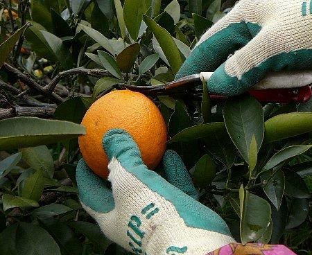 0326ネーブル収穫作業