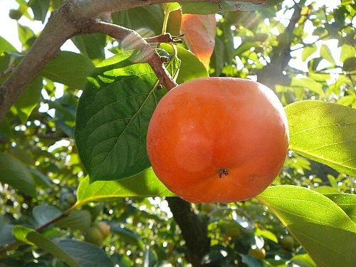 中容:早秋収穫盛り