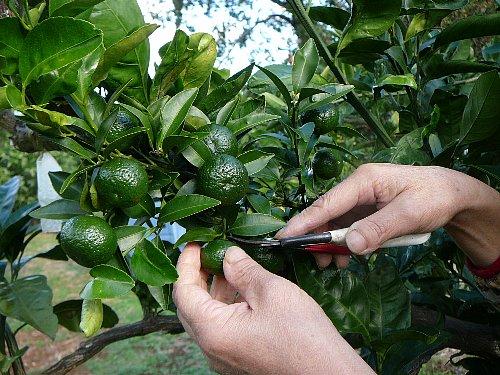 シークワーサ収穫20121013
