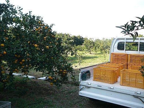 極早生トラックで収穫