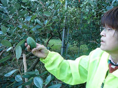 フェイジョア収穫20121029