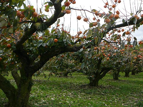 500次郎柿80樹令列樹20121127