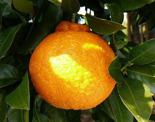 デコポン1果実