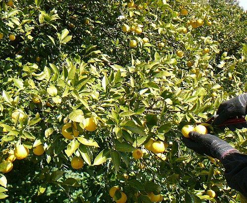 収穫黄金柑20130322