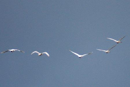 白鳥02566a