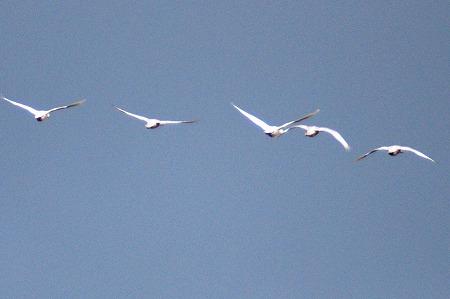 白鳥a02565