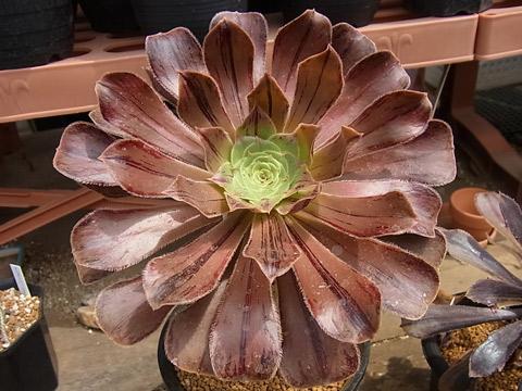 Aeonium arboreum var. rubrolineatum
